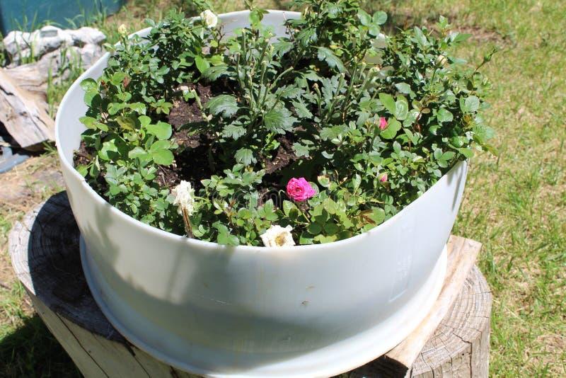 Het damast nam Magnoliophyta-bloempot toe royalty-vrije stock afbeeldingen
