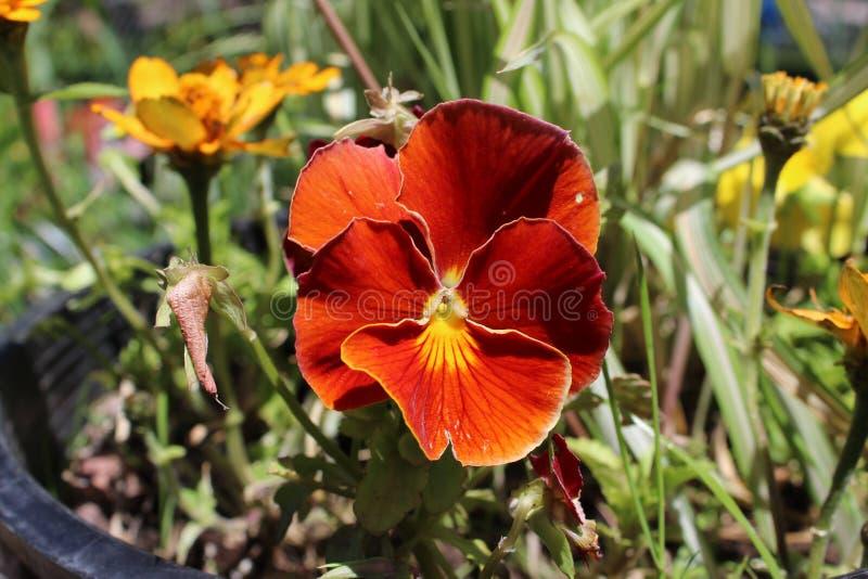 Het damast nam Magnoliophyta F toe stock afbeelding
