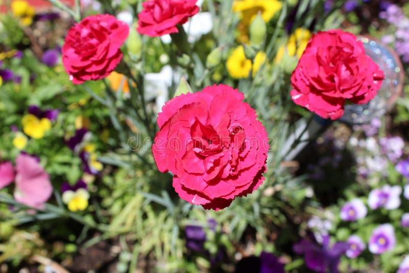 Het damast nam Magnoliophyta sluit c toe royalty-vrije stock foto's