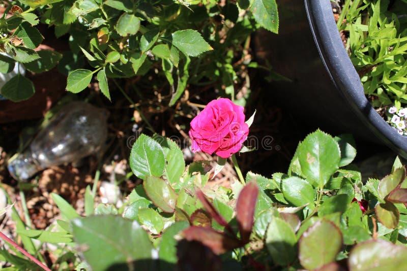 Het damast nam Magnoliophyta sluit roze toe royalty-vrije stock foto