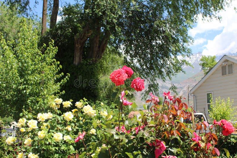 Het damast nam Magnoliophyta sluit a toe royalty-vrije stock afbeeldingen