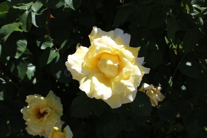 Het damast nam Magnoliophyta sluit wit toe stock afbeelding