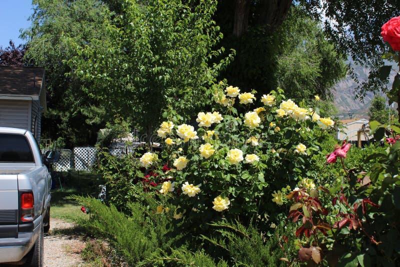 Het damast nam Magnoliophyta-struik toe stock fotografie