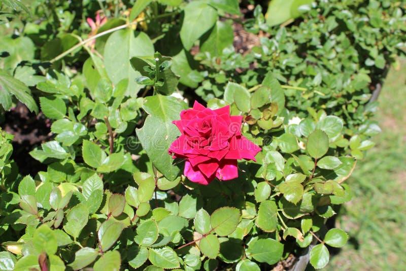 Het damast nam Magnoliophyta toe royalty-vrije stock fotografie