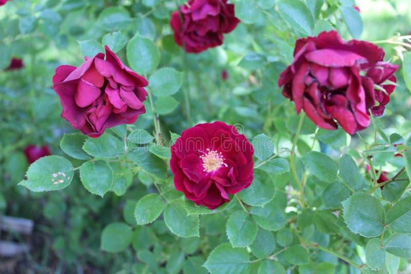 Het damast nam Magnoliophyta 4 toe royalty-vrije stock fotografie