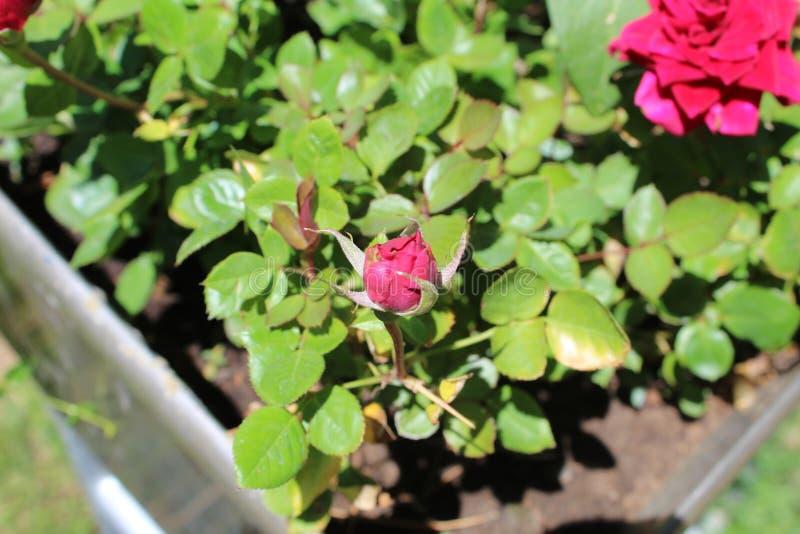 Het damast nam Magnoliophyta a toe stock foto