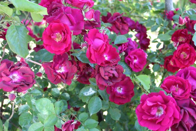 Het damast nam Magnoliophyta vele bloemen toe stock afbeeldingen