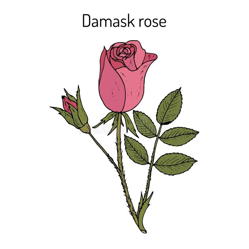 Het damast nam Rosa damascena, sier en geneeskrachtige installatie toe royalty-vrije illustratie