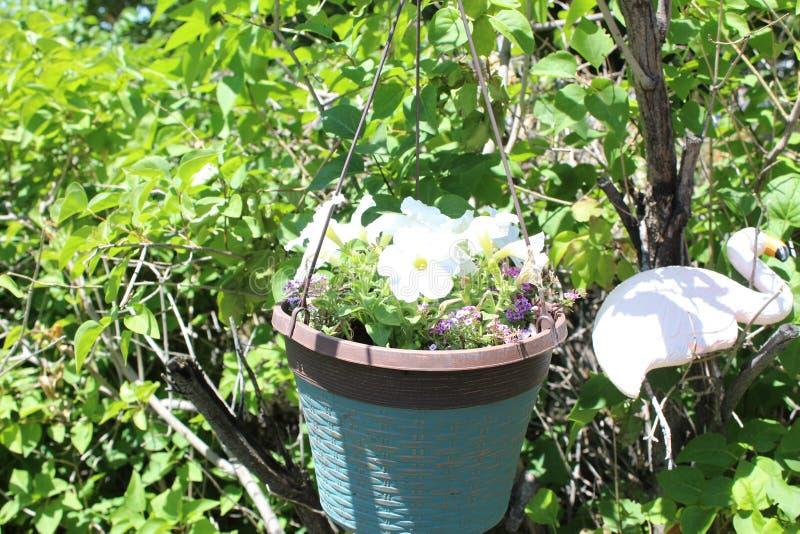 Het damast nam witte de bloempot van Magnoliophyta toe stock afbeelding