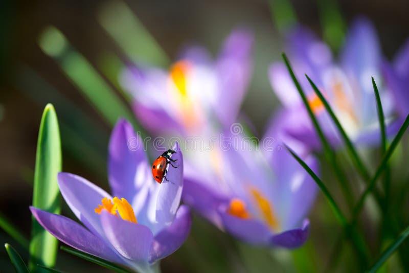 Het dameinsect op de lentekrokus bloeit, macrobeeld met kleine diepte van gebied stock foto