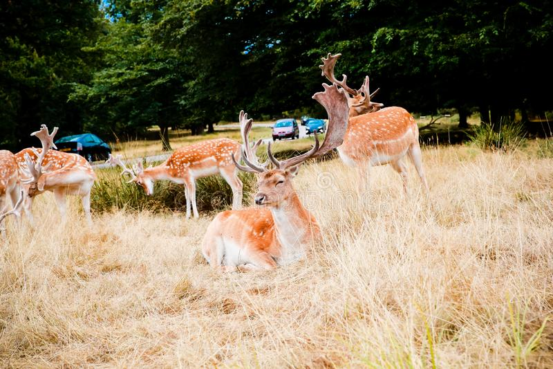 Het Damhert in het park van Richmond rustte royalty-vrije stock fotografie