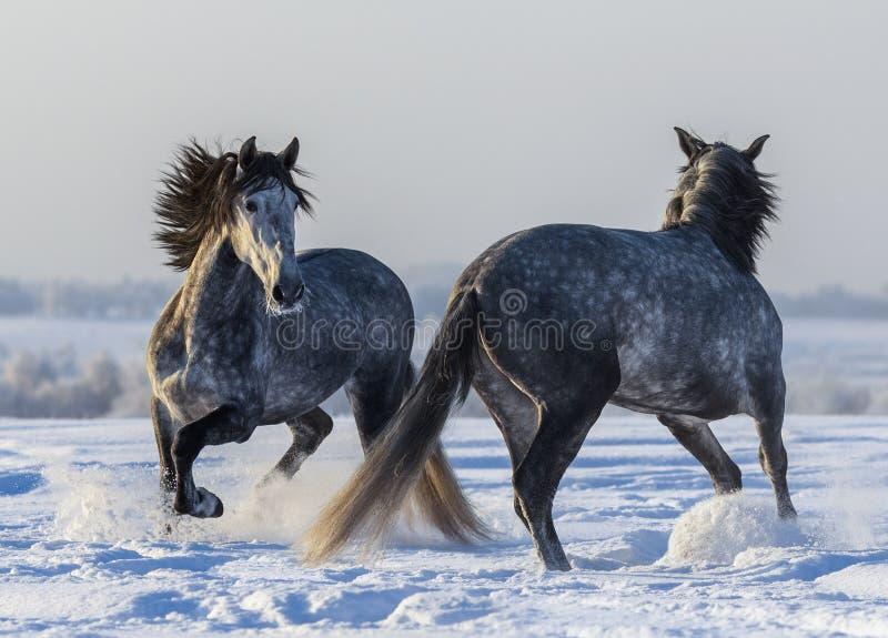 Het dansen $ce-andalusisch paarden Twee het Spaanse grijze hengsten spelen stock afbeelding