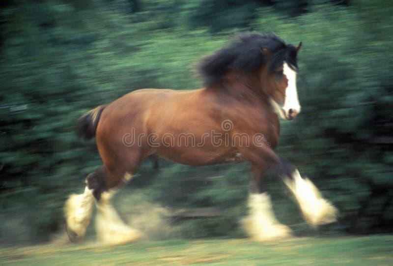 Het dansen Clydesdale paard, St.Louis, MO stock foto
