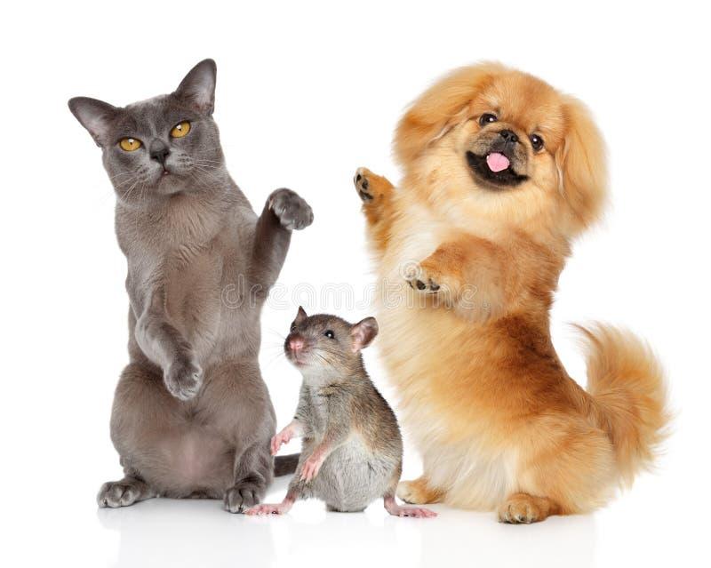Het dansen de kat van huisdierenbirma, Pekineeshond en rat op een wit stock afbeeldingen