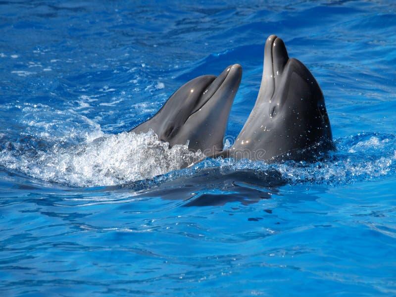 Het dansen dolfijnen stock foto