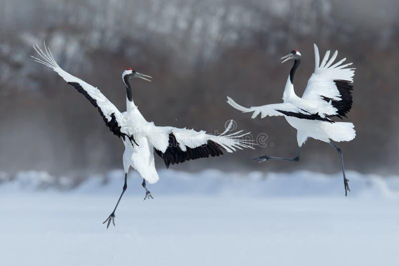 Het dansen paar van rood-Bekroonde kraan met open vleugel tijdens de vlucht, met sneeuwonweer, Hokkaido, Japan