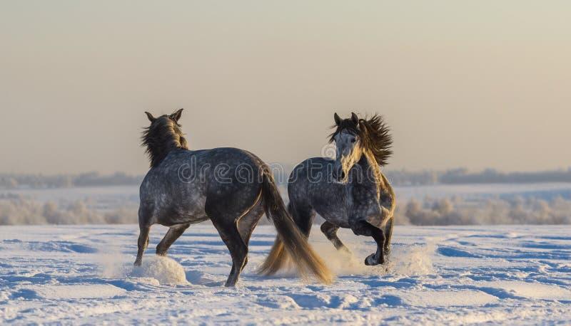 Het dansen Spaanse paarden Twee het $ce-andalusisch grijze hengsten spelen stock afbeeldingen