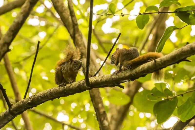 Het dateren van eekhoorns op een boomtak stock afbeeldingen