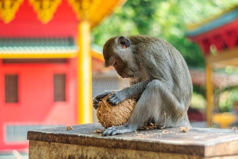 Het de aapwild van Azi? royalty-vrije stock afbeeldingen