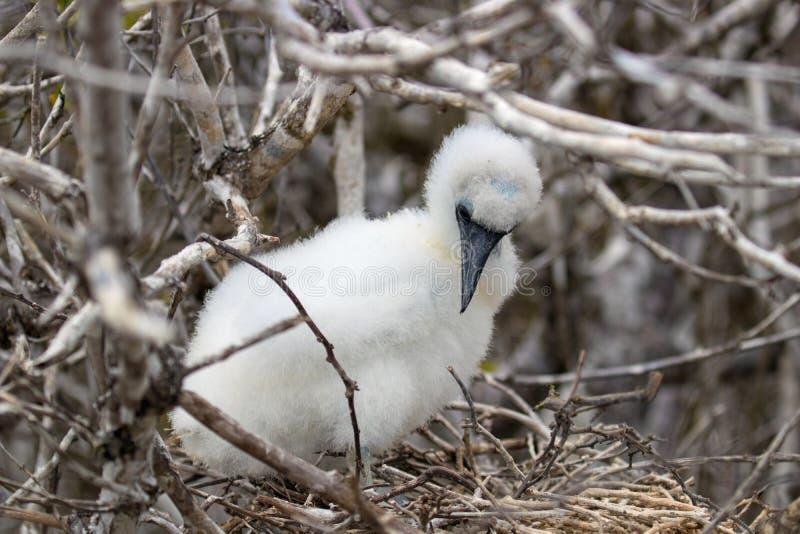 Het de Eilandenwild van de Galapagos met Zeldzame Vogels stock afbeelding