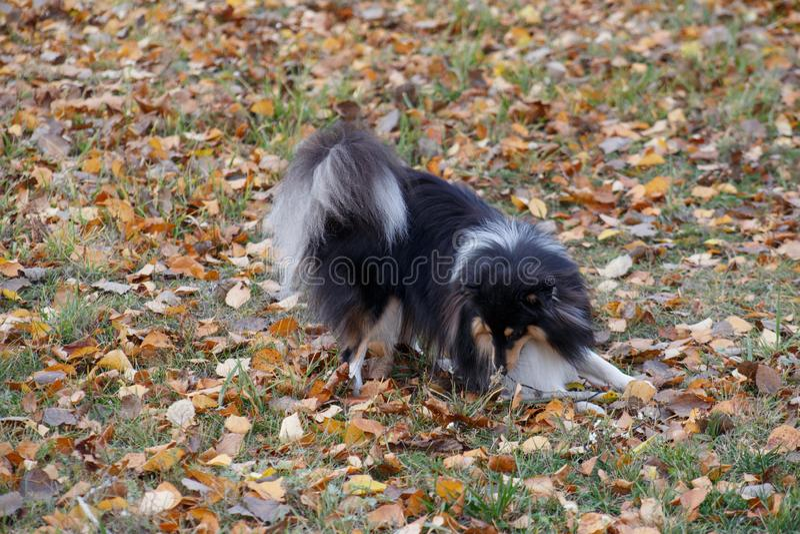 Het de herdershondpuppy van Shetland speelt op een de herfstweide De collie van Shetland of sheltie Huisdieren stock foto