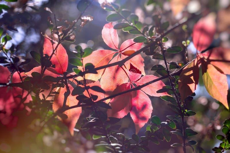 Het de herfstblad, mooie aard, de herfst begint, laat doorschemeren in de herfst met kleurrijke mooie bladeren stock afbeelding