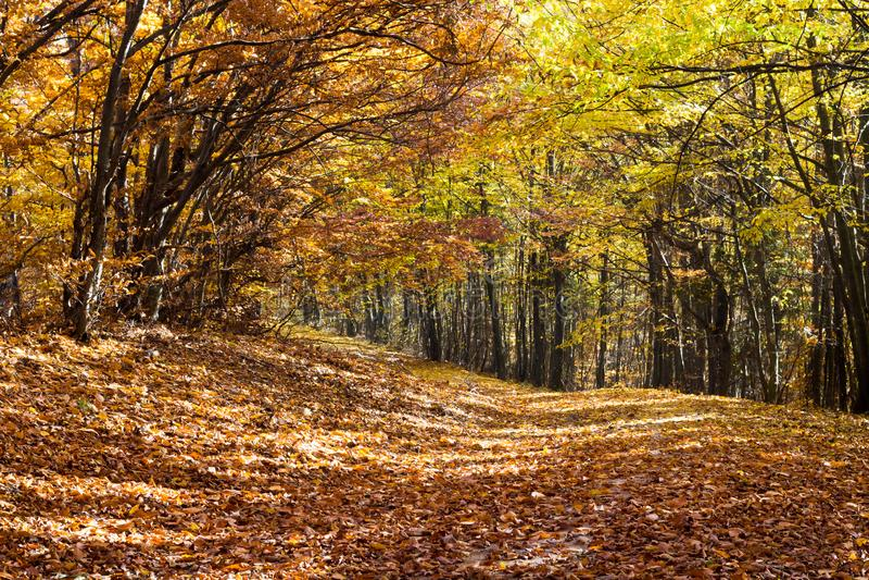 Het de herfstbos, de bomen en de bladeren vielen stock afbeeldingen