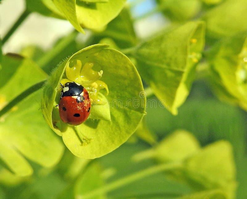Het de insecteninsect van het onzelieveheersbeestjelieveheersbeestje bloeit installatieswolfsmelk stock fotografie