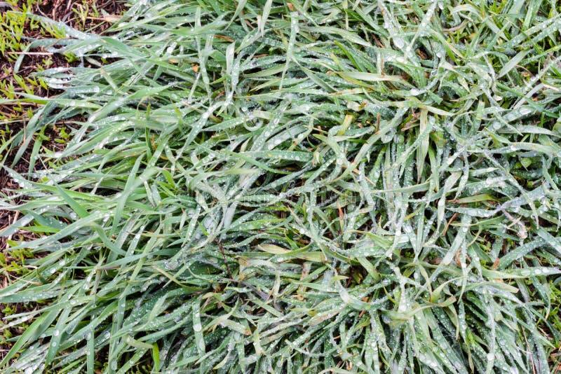 Het de lentegras is behandeld met overvloedige regendruppels Het groene gras na regen is close-up Achtergrond, groene grastextuur stock afbeeldingen