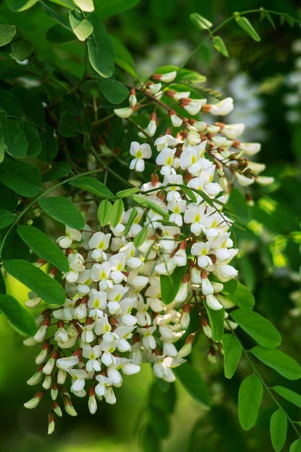 Het de Lenteweer van de bloemacacia is witte bloemen op de boom royalty-vrije stock fotografie