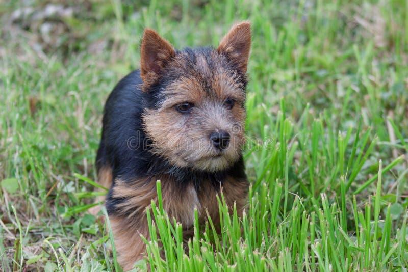 Het de terriërpuppy van Norwich bevindt zich in een groen gras royalty-vrije stock fotografie