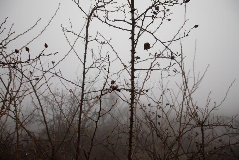 Het de winterlandschap met bevroren takken van hond nam struik met rode bevroren vruchten toe De Mening van Nice royalty-vrije stock afbeelding