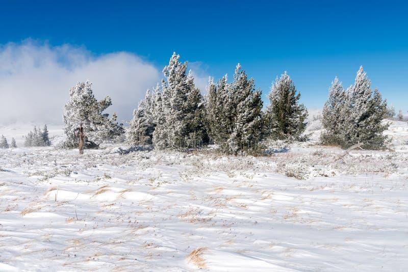 Het de winterlandschap van sneeuw behandelde gebied en het kleine bos van pijnboombomen op achtergrond stock fotografie