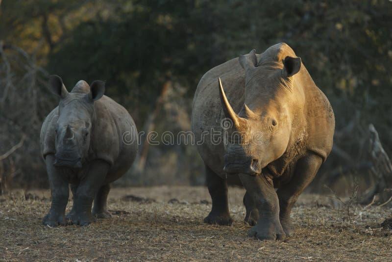 Het de witte moeder en kalf van de Rinoceros stock fotografie
