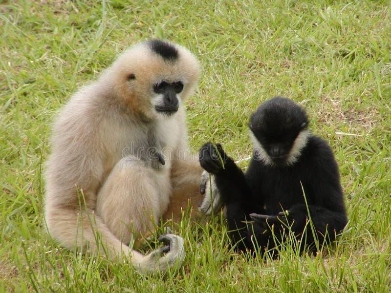 Het Debatteren van de aap