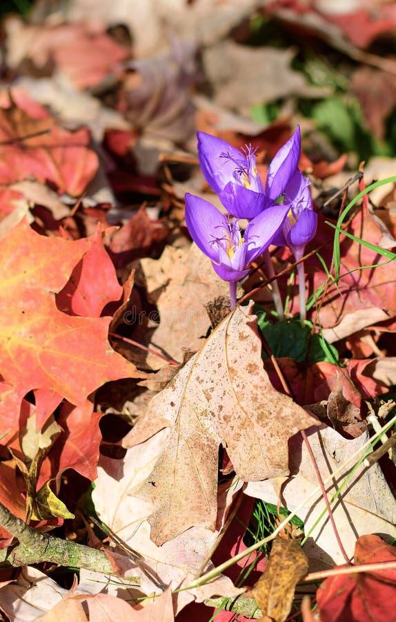 Het dendrological park van Autumn Fox - van Roemenië - van Gurahont royalty-vrije stock afbeeldingen