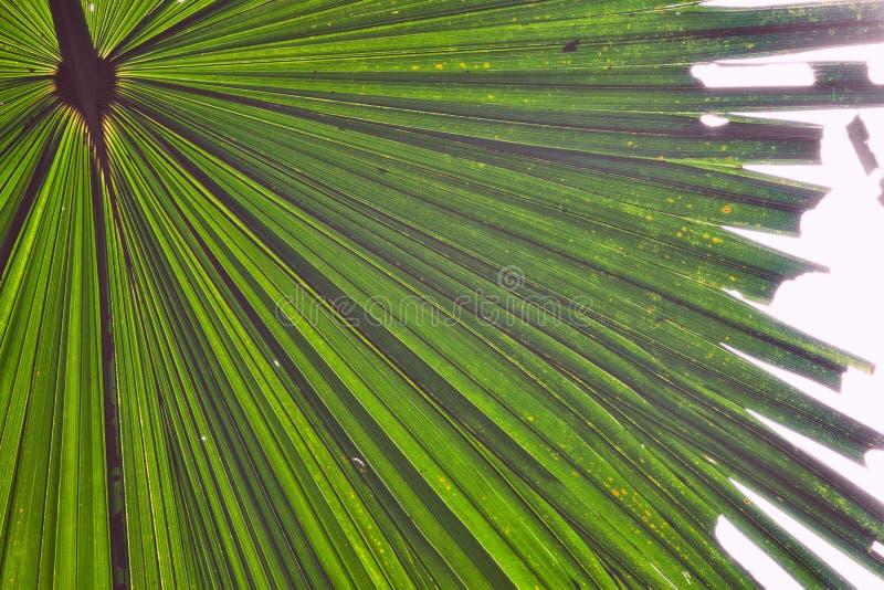 Het detail groene tropische achtergrond van het palmblad royalty-vrije stock foto