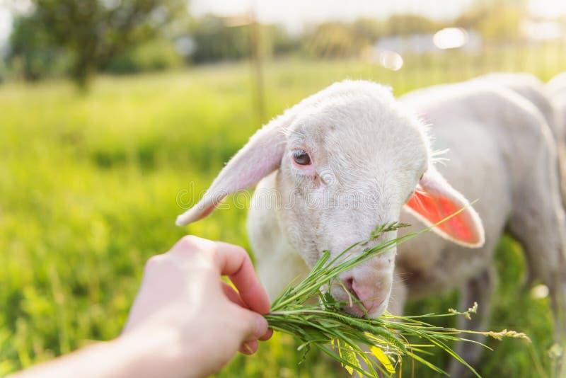 Het detail van bemant hand voedende schapen met gras Zonnige weide stock fotografie