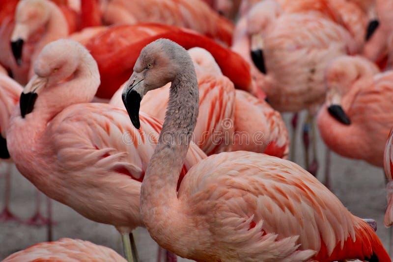 het detail van de flamingovogel stock foto