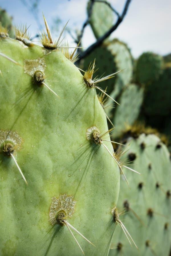 Het Detail van de Vijgcactus, Tucson, Arizona royalty-vrije stock foto's