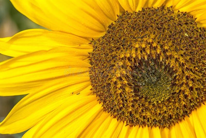 Het detail van de zonnebloem royalty-vrije stock foto's