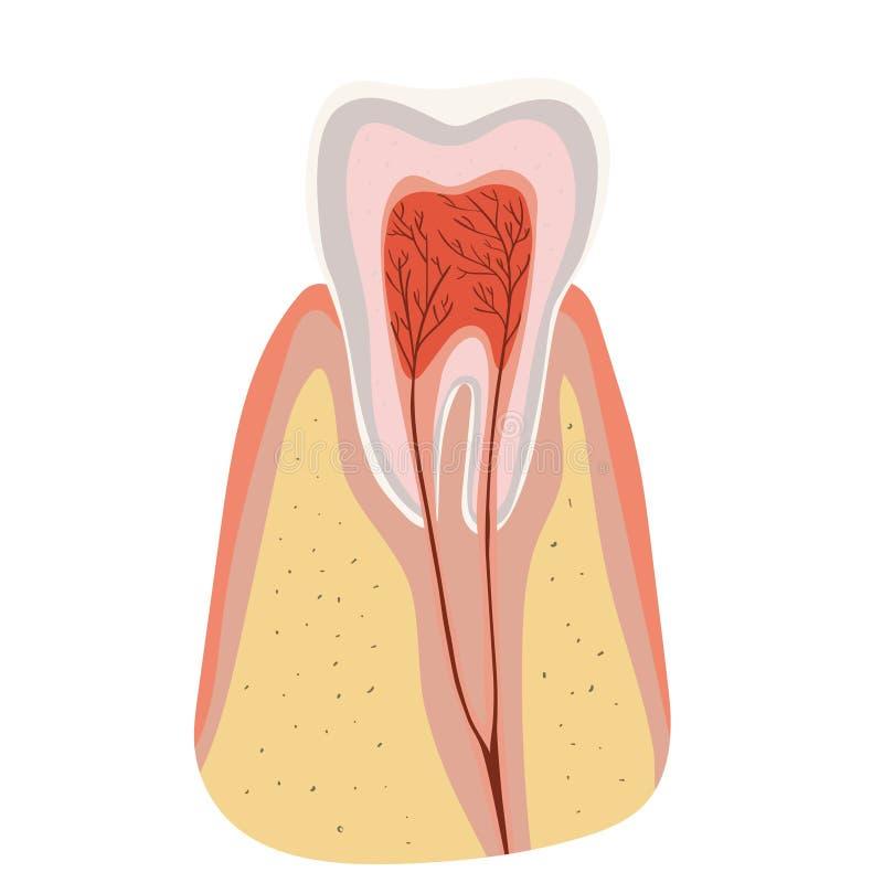 Het Diagram van de tandstructuur van de insnijding van de tand Vectordiemalplaatje op witte achtergrond wordt ge?soleerd vector illustratie