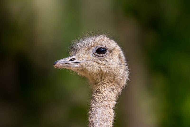 Het dichte hoofd van struthiocamelus van de zijaanzichtstruisvogel in zonlicht royalty-vrije stock foto's