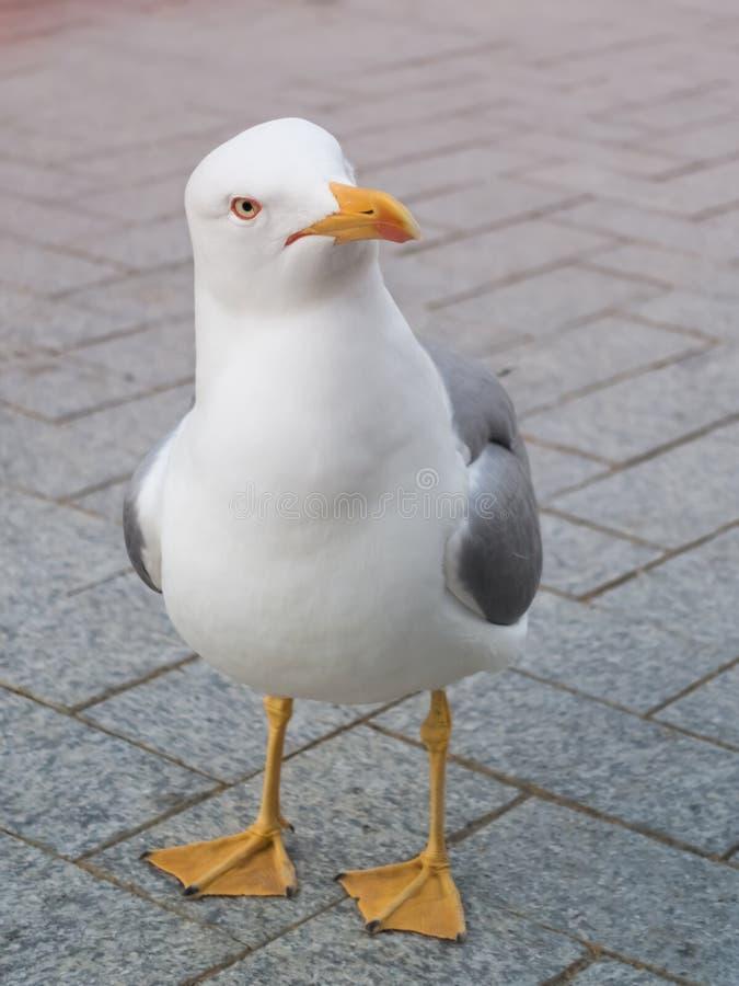 Het dichte omhooggaande portret van de zeemeeuwvogel royalty-vrije stock foto