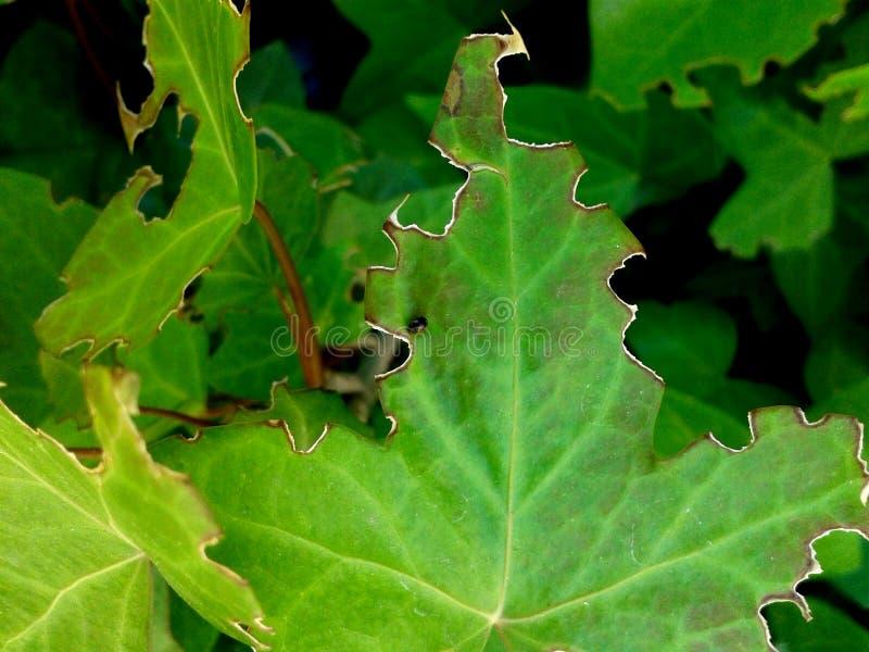 Het Dieet van een Hongerig Insect? stock afbeelding