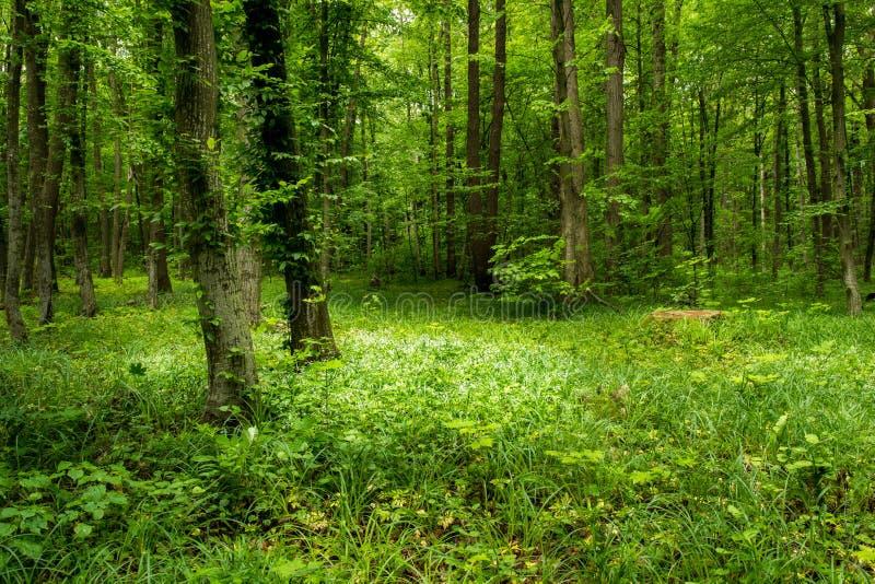 Het diepe bos van mosbomen met gras stock fotografie