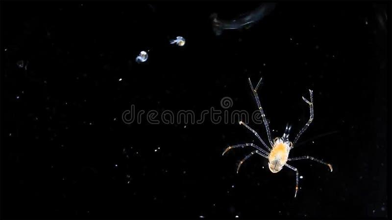 Het dierlijk plankton van krablarven in marine onder microscoop stock afbeeldingen