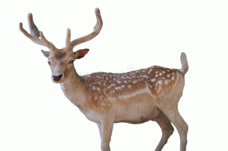 Het dierlijke portret van het wildkerstmis een leuk gestippeld die hert met geweitakken op witte achtergrond worden geïsoleerd stock foto