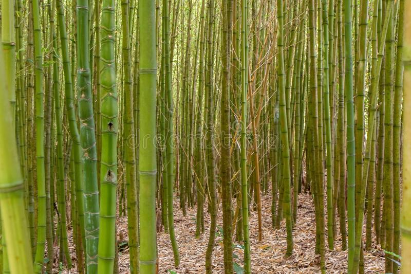 Het dikke bamboestruikgewas sluit omhoog stock fotografie