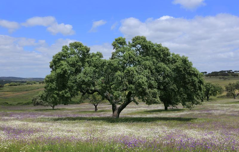 Het district van Portugal, Alentejo, Evora - solitaire cork eiken boom - Quercus suber stock fotografie